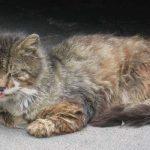 ลูคีเมีย แมว