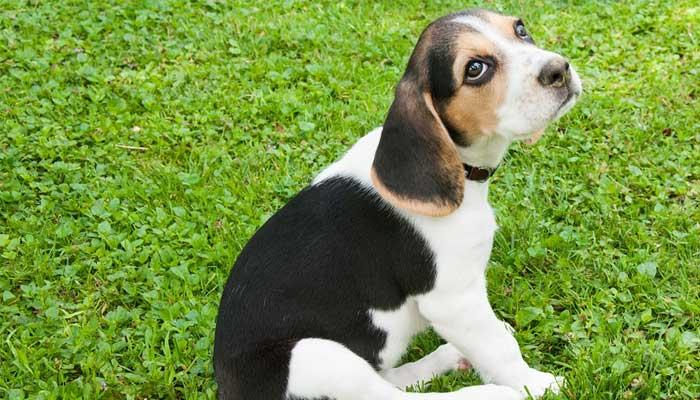 หมากระเป๋า Beagle