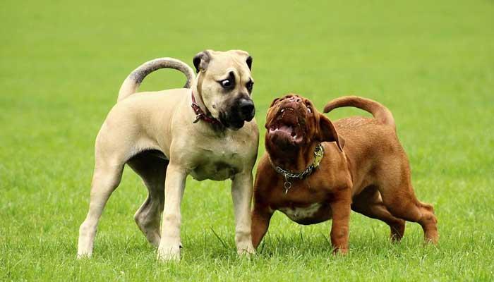 หมากระเป๋า FrenchBulldogs