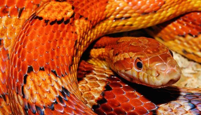 งู ข้าวโพด คอร์นสเน็ค
