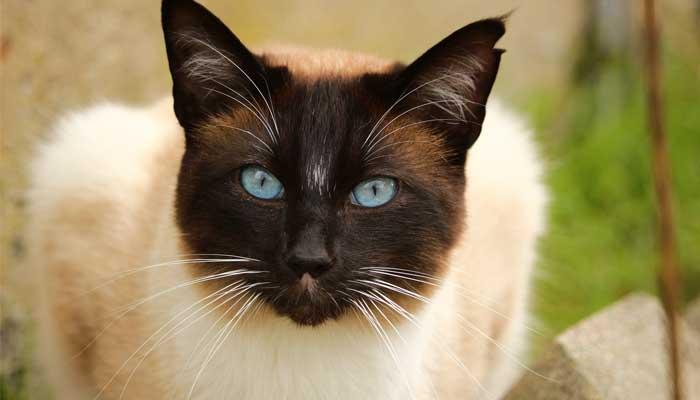 แมวไทย สายพันธุ์แมว