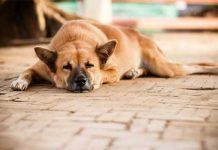 โรคซึมเศร้า สุนัข