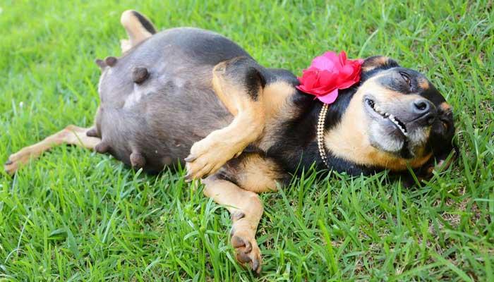 สุนัข ตั้งท้อง