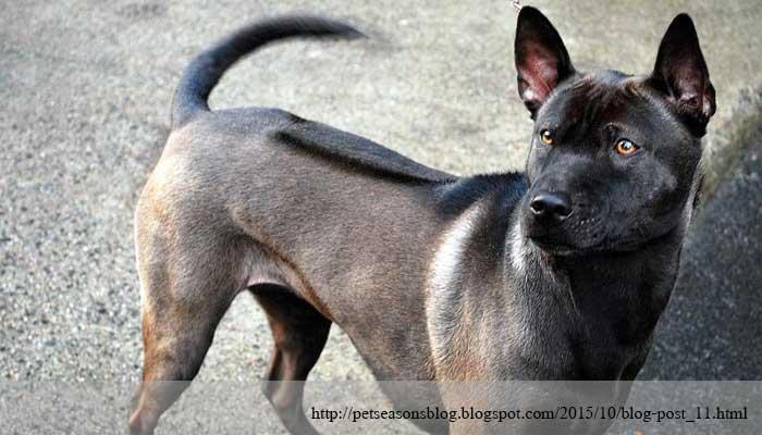 สุนัข คู่ชาติไทย