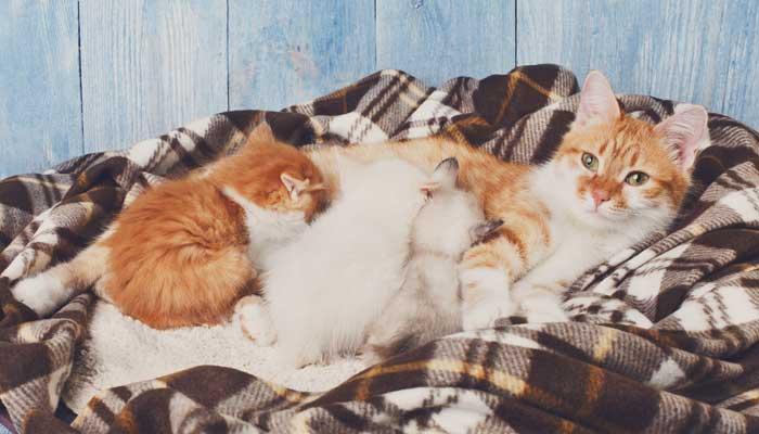 แมว ตั้งท้อง
