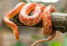 งูข้าวโพด
