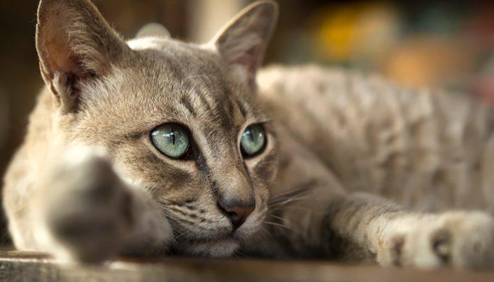 แมวไทย นำโชค