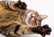แมว ดัดนิสัย แมวชอบข่วน