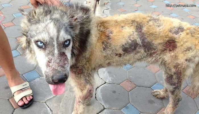 โรคเรื้อน ในสุนัข