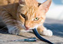 แมวกินปลาดิบ