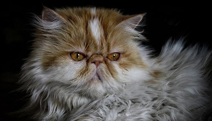 พันธุ์แมว1