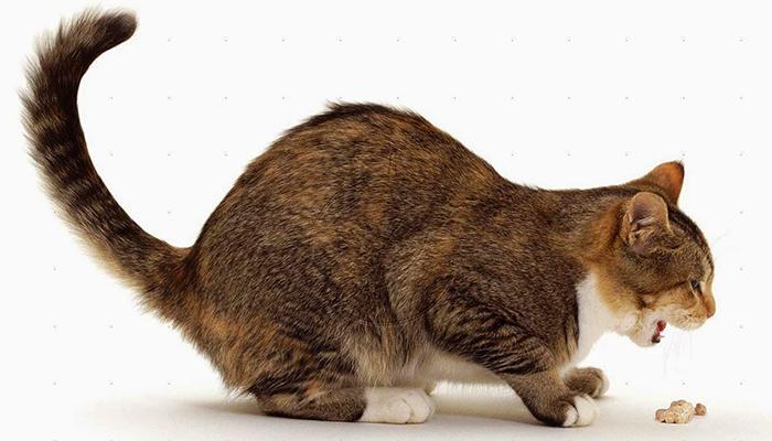 พฤติกรรม แมว ผิดปกติ
