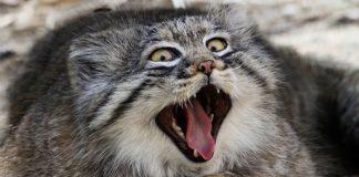 แมว พัลลัส สายพันธุ์แมวที่ขนนุ่มที่สุด