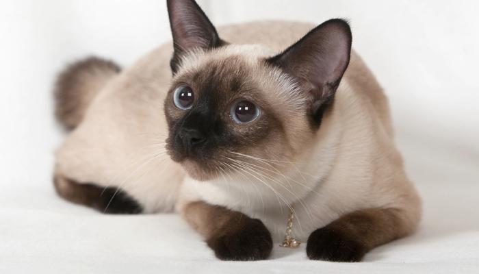 พันธุ์แมว5