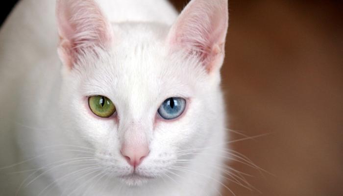 พันธุ์แมว6