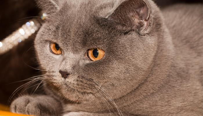 พันธุ์แมว7