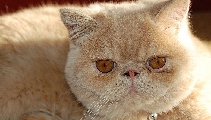 พันธุ์แมว8