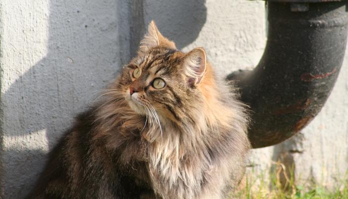 พันธุ์แมว9