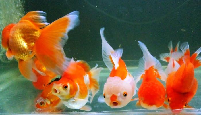 ปลา เสริมโชค เสริมสิริมงคล