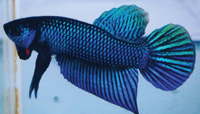ปลาสวยงาม03
