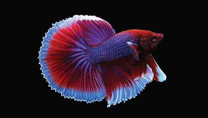 ปลากัด ปลาสวยงาม