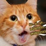 แมวcover