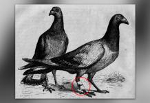 นกพิราบcover