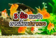 ปลาทองcover