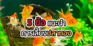 ปลาทอง การเลี้ยงปลาทอง