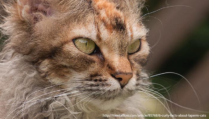 แมว ลาเปิร์ม