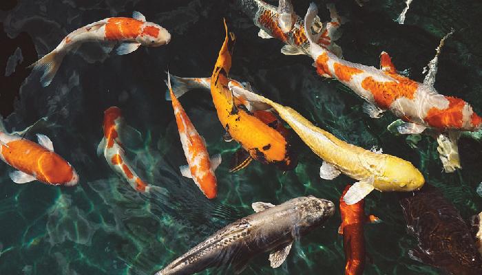 ปลาคราฟ ปลาสวยงาม