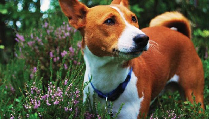 สุนัข บาเซนจิ