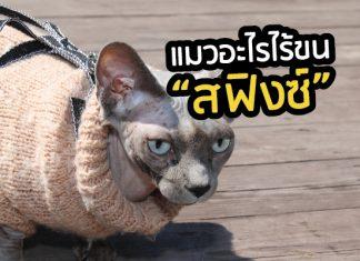 แมว สฟิงซ์ แมวไร้ขน