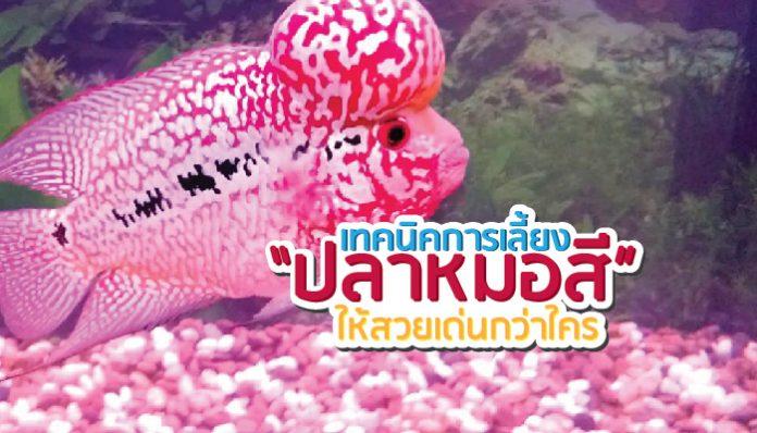 ปลาหมอสี ปลาสวยงาม