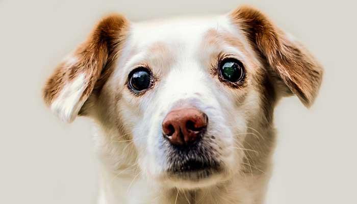 สุนัข บอกความรักผ่านสายตา