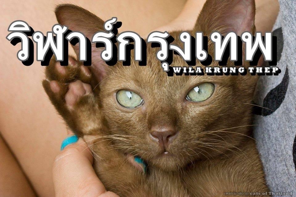 แมวไทย วิฬาร์กรุงเทพ